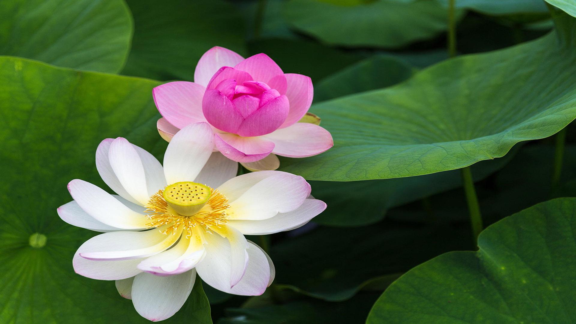 Hình nền hoa sen cho desktop