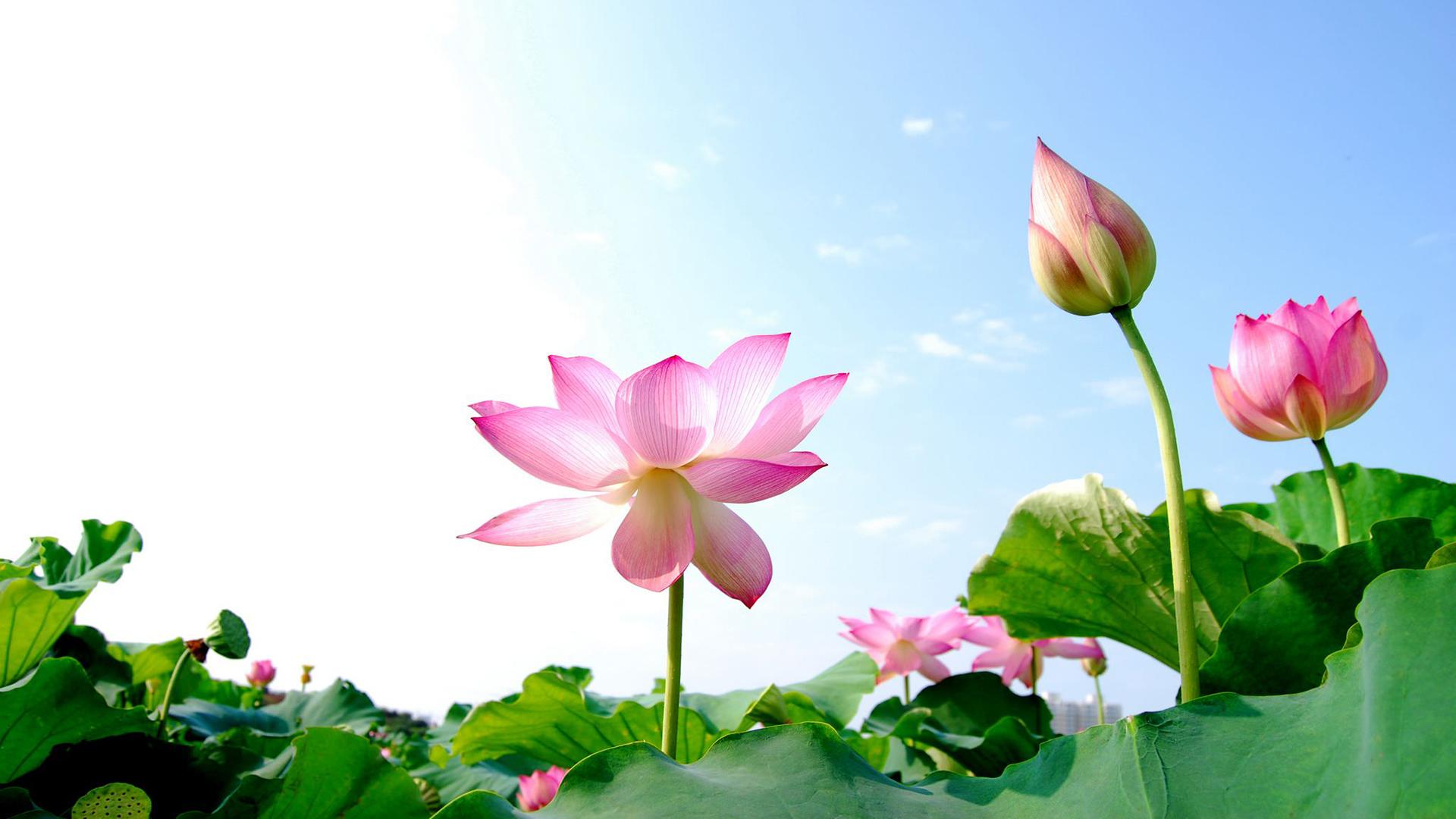 Hình nền hoa sen dưới nắng