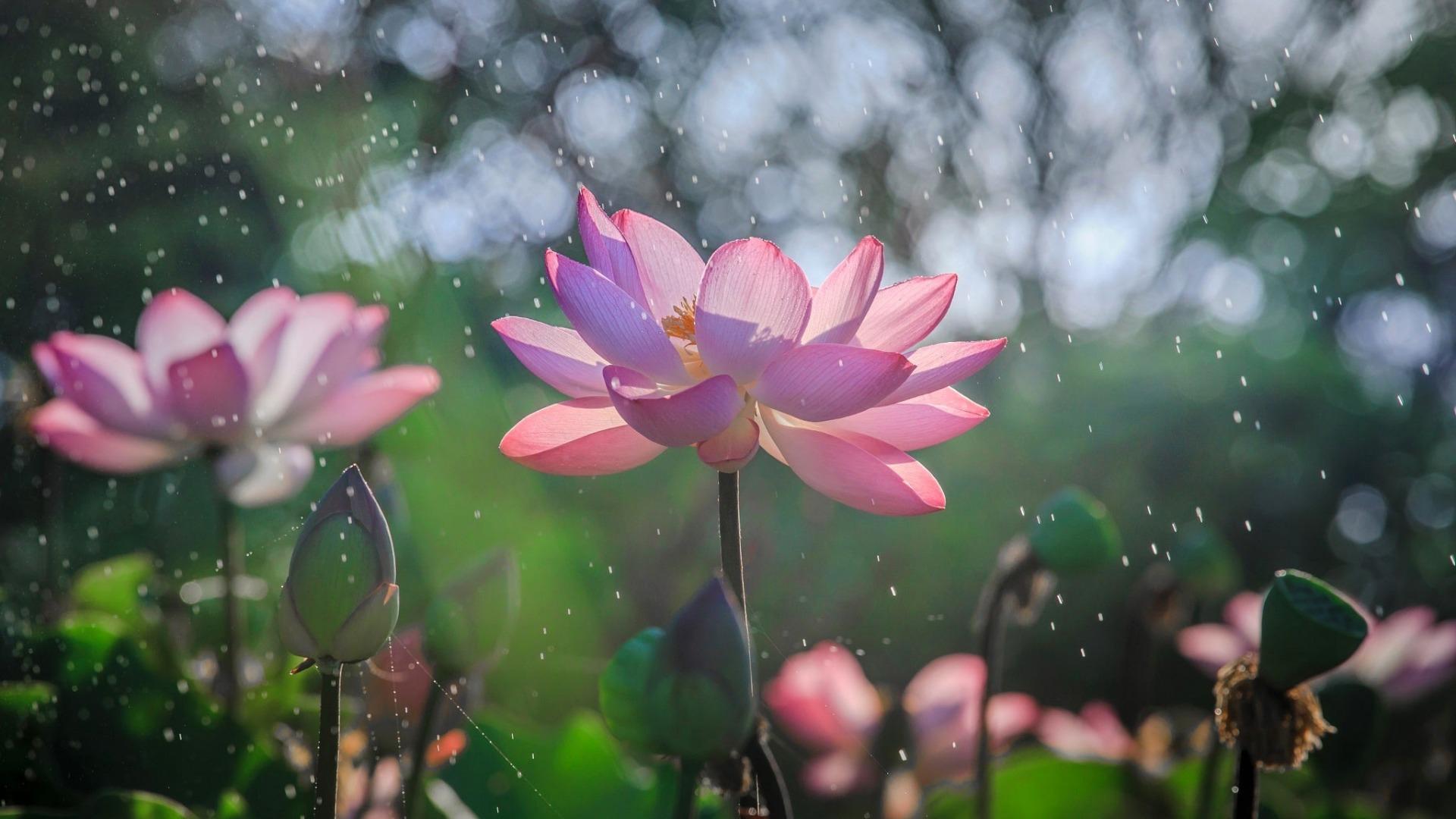 Hình nền hoa sen khoe sắc