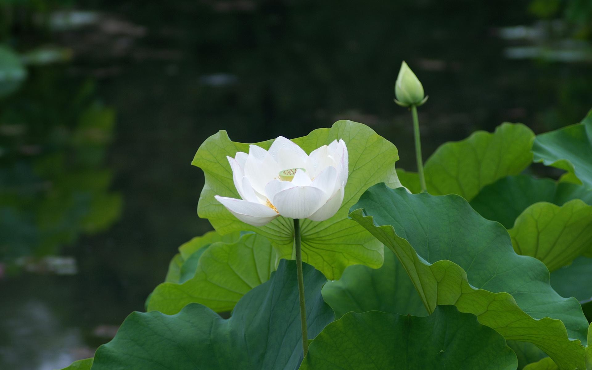Hình nền hoa sen trắng đẹp nhất
