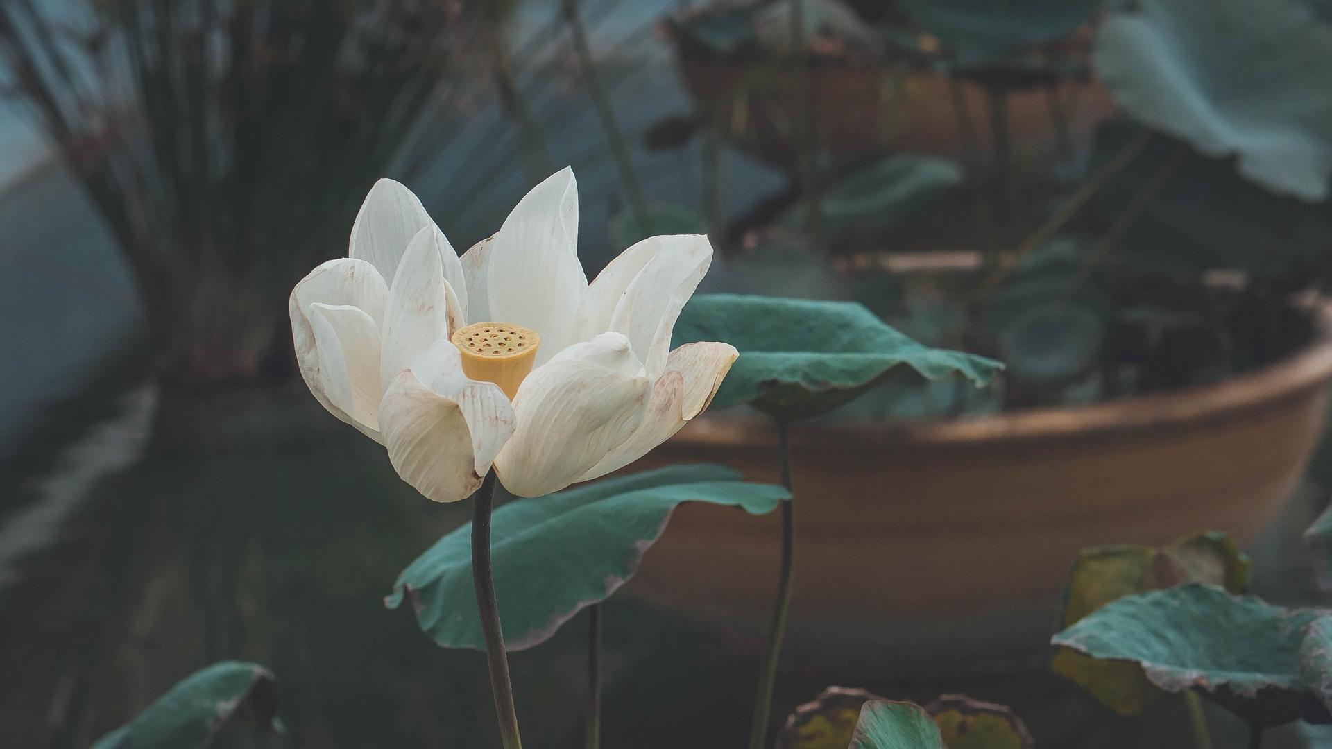 Hình nền hoa sen trắng đẹp