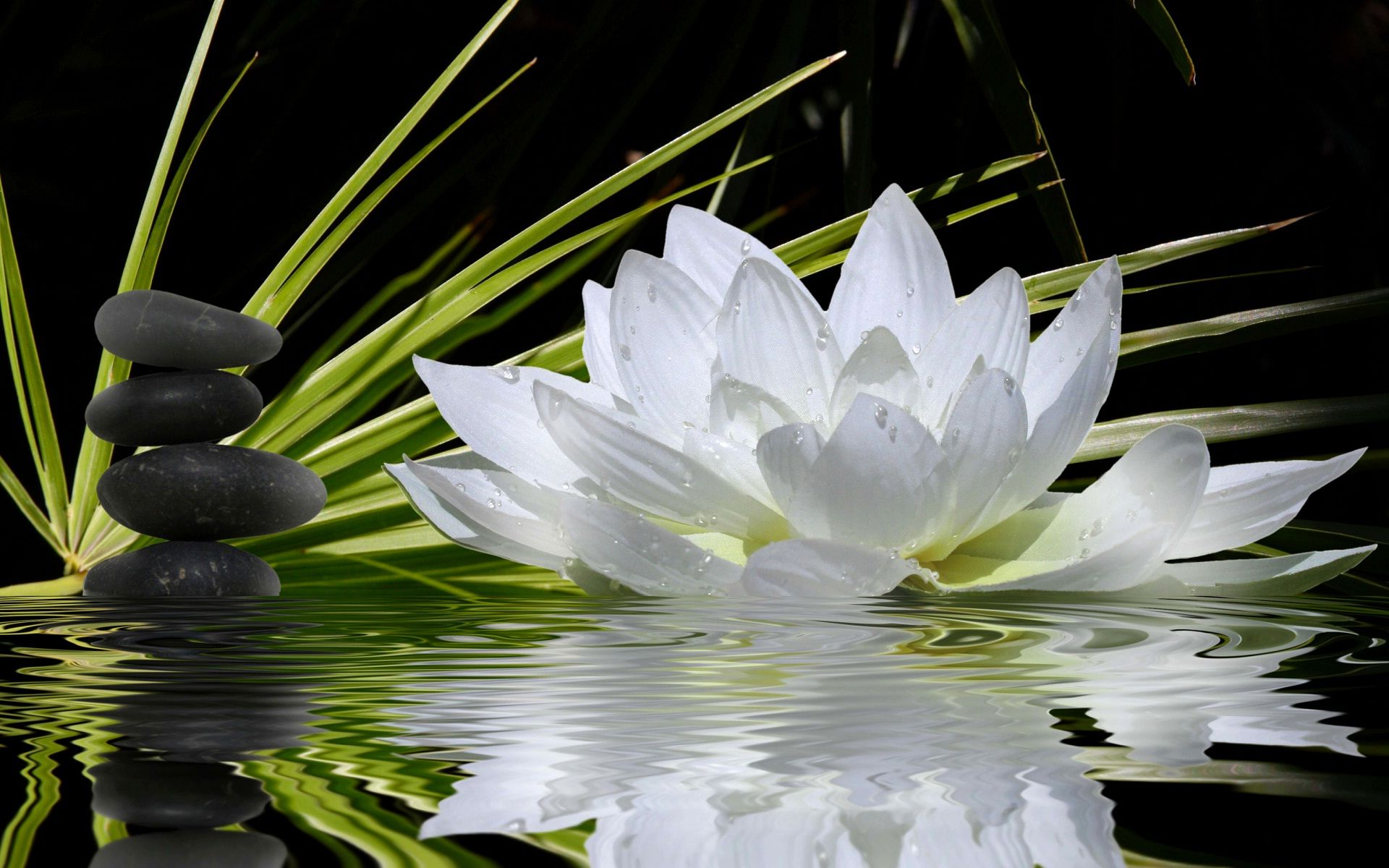 Hình nền hoa sen trắng