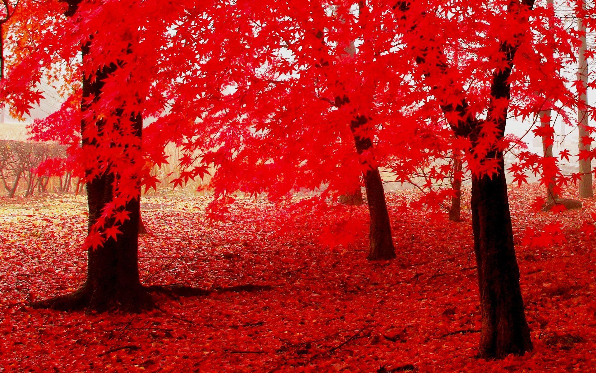 Hình nền rừng lá đỏ