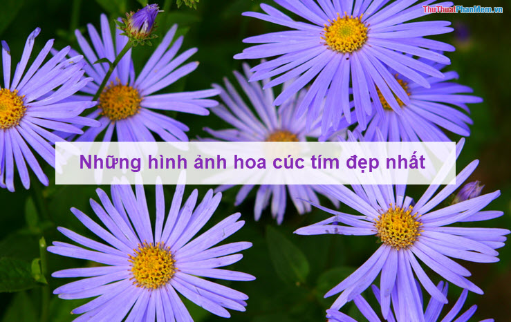 Những hình ảnh hoa cúc tím đẹp nhất