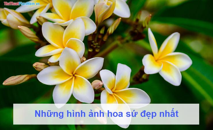 Những hình ảnh hoa sứ đẹp nhất