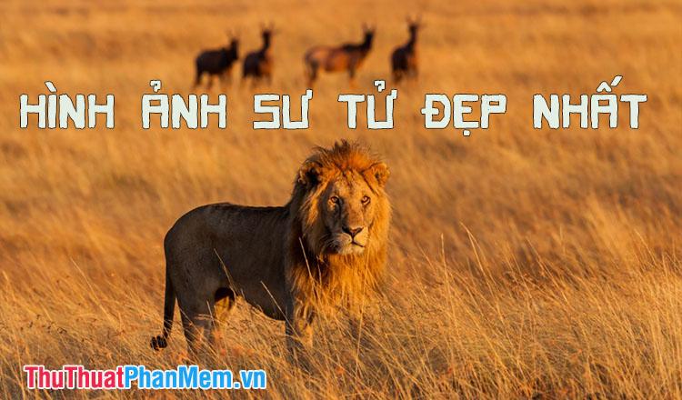 Hình sư tử - Những hình ảnh con sư tử đẹp nhất