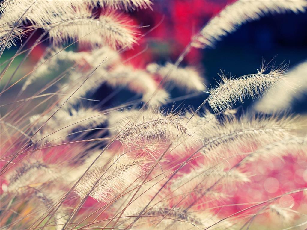 Ảnh đẹp hoa cỏ may