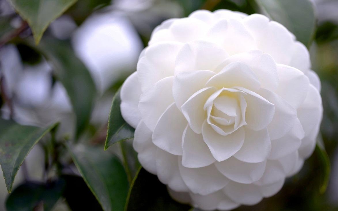 Bông hoa trà mi màu trắng rất đẹp
