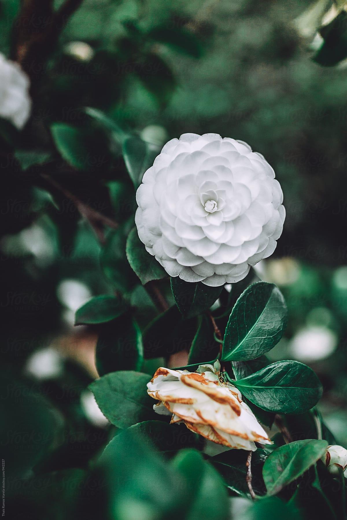Bông hoa trà mi màu trắng toát cực đẹp