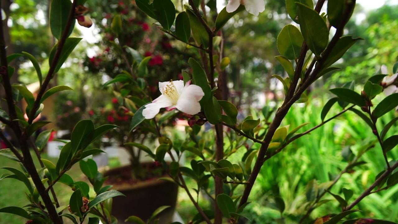 Bông hoa trà mi trắng trên cành