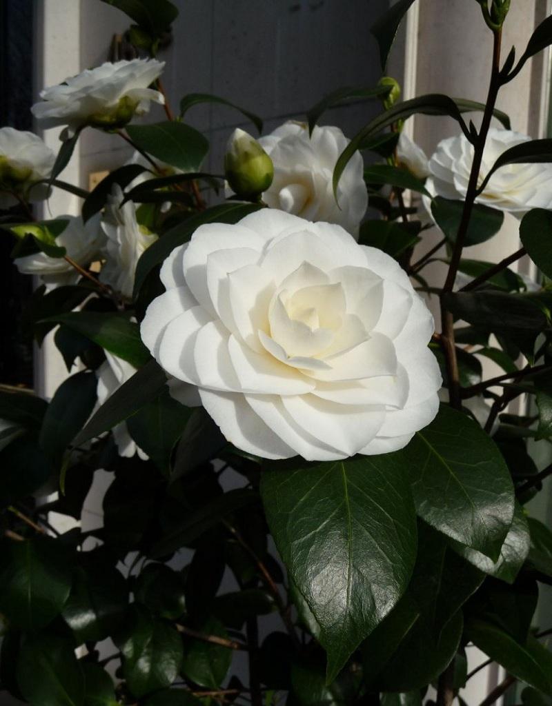 Bông hoa trắng đẹp chính là hoa trà mi