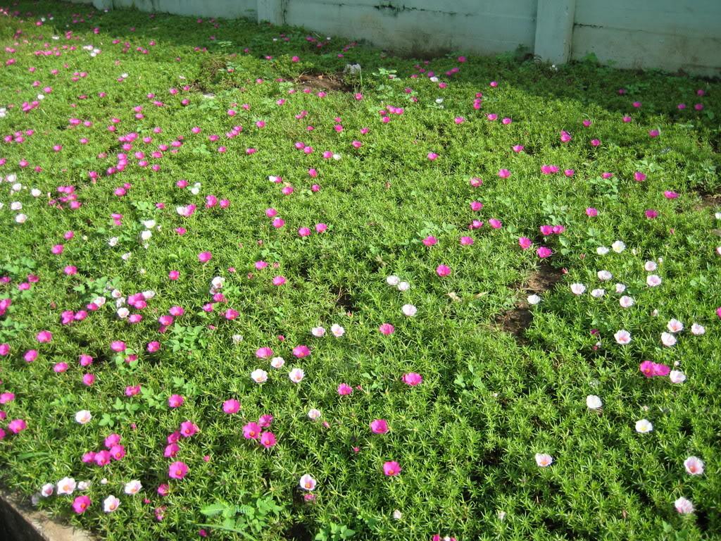 Cả một bãi cỏ hoa mười giờ đều nở hoa