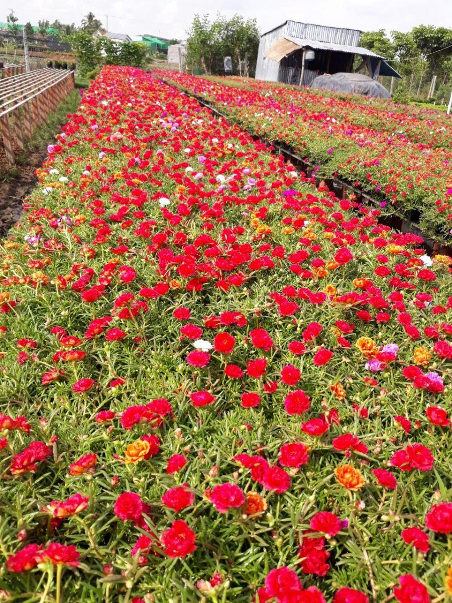 Cả một ruộng hoa mười giờ đỏ