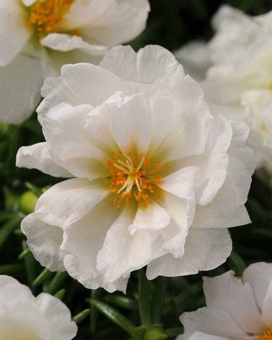 Cận cảnh hoa mười giờ trắng