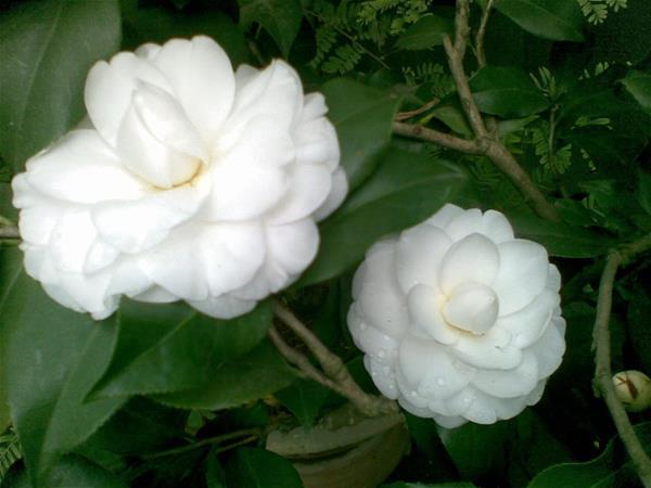 Hai bông hoa trà mi màu trắng cực đẹp