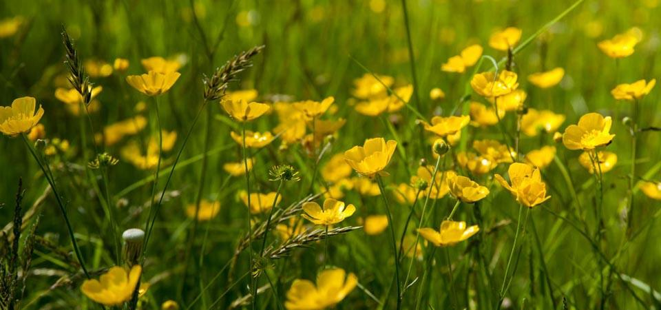 Hình ảnh đẹp hoa vàng trên cỏ xanh