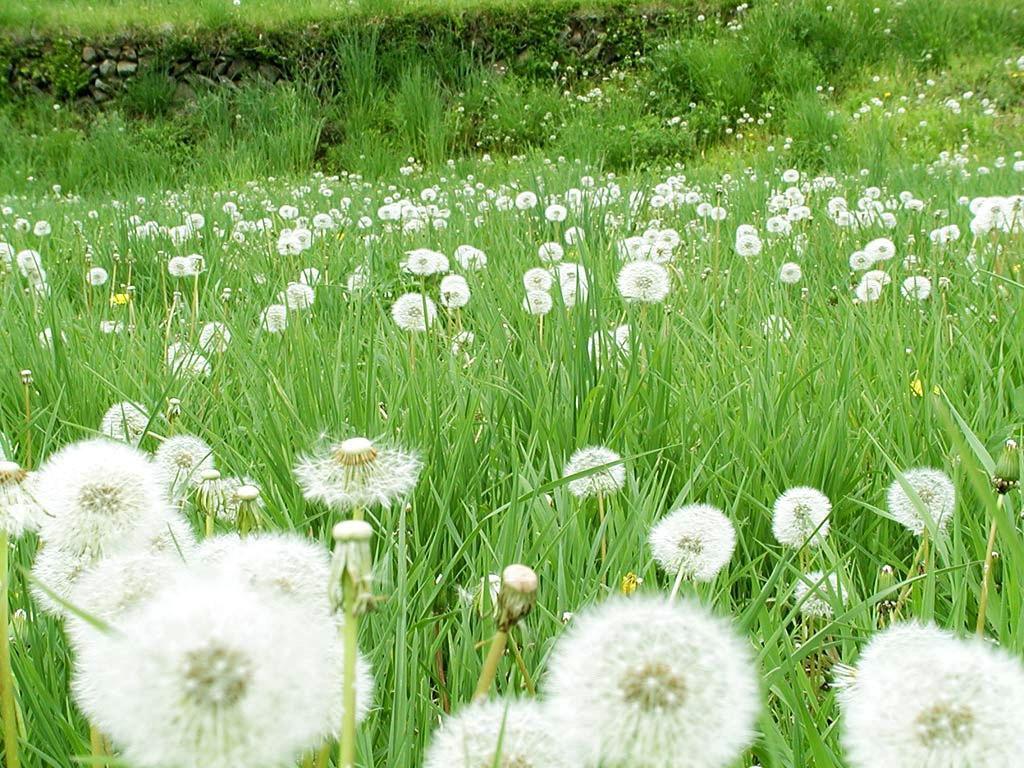 Hình ảnh hoa cỏ cây bồ công anh