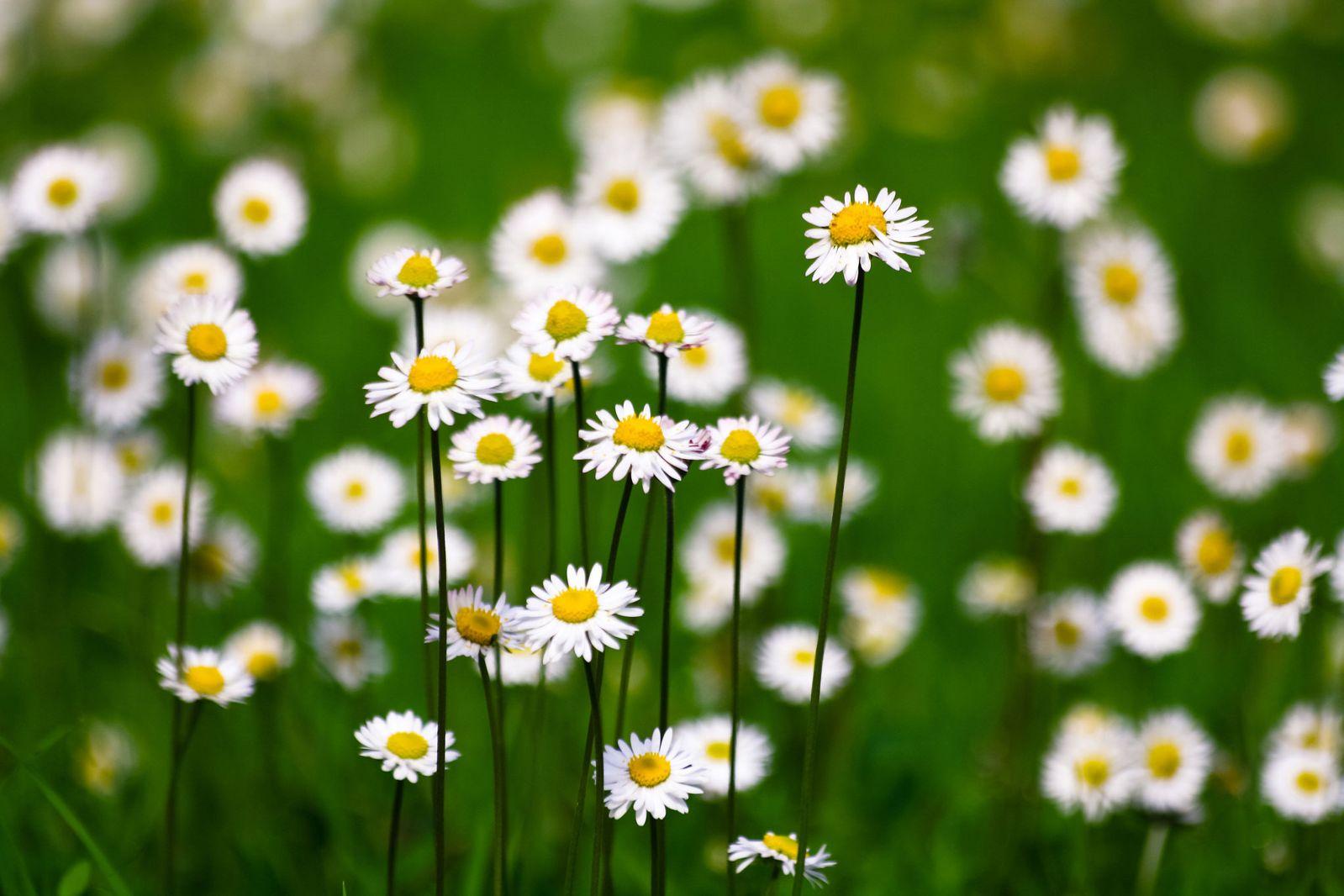 Hình ảnh hoa cỏ cúc