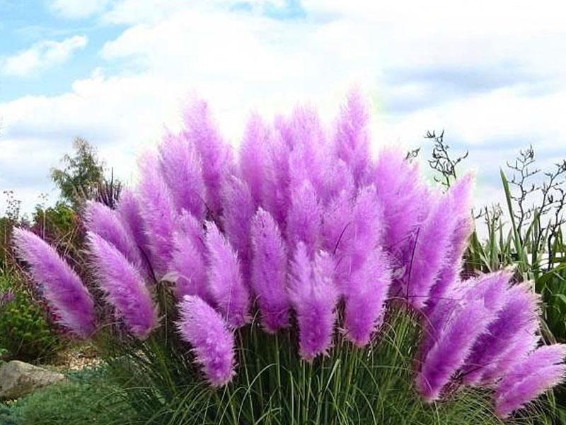 Hình ảnh hoa cỏ lau màu tím