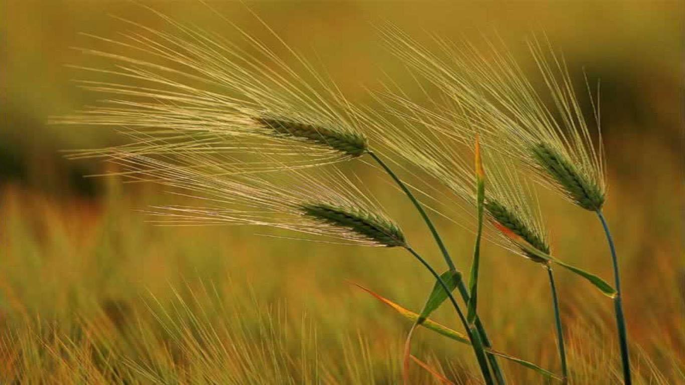 Hình ảnh hoa cỏ lúa mạch