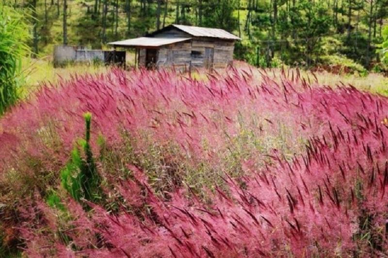 Hình ảnh hoa cỏ may hồng