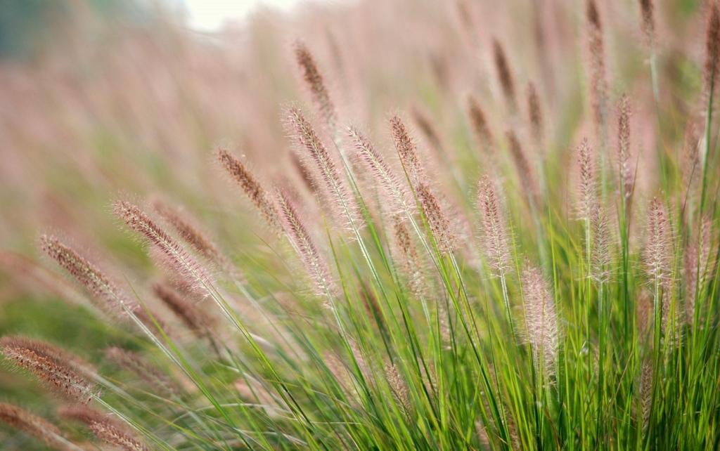 Hình ảnh hoa cỏ may