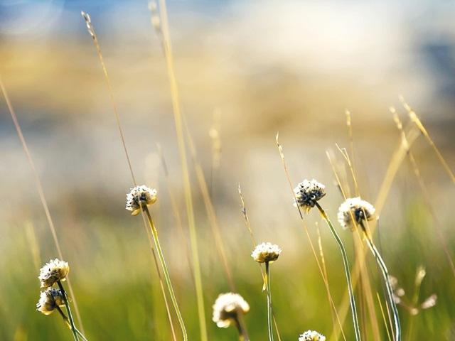 Hình ảnh hoa cỏ vàng