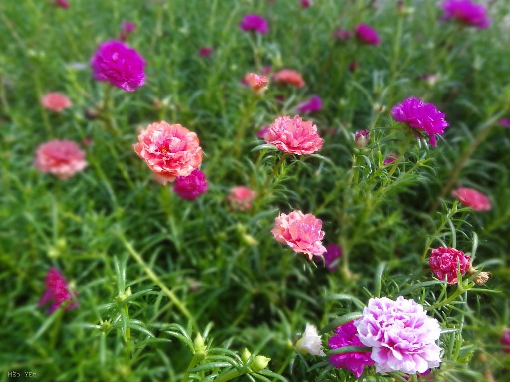 Hình ảnh hoa mười giờ nhiều màu sắc