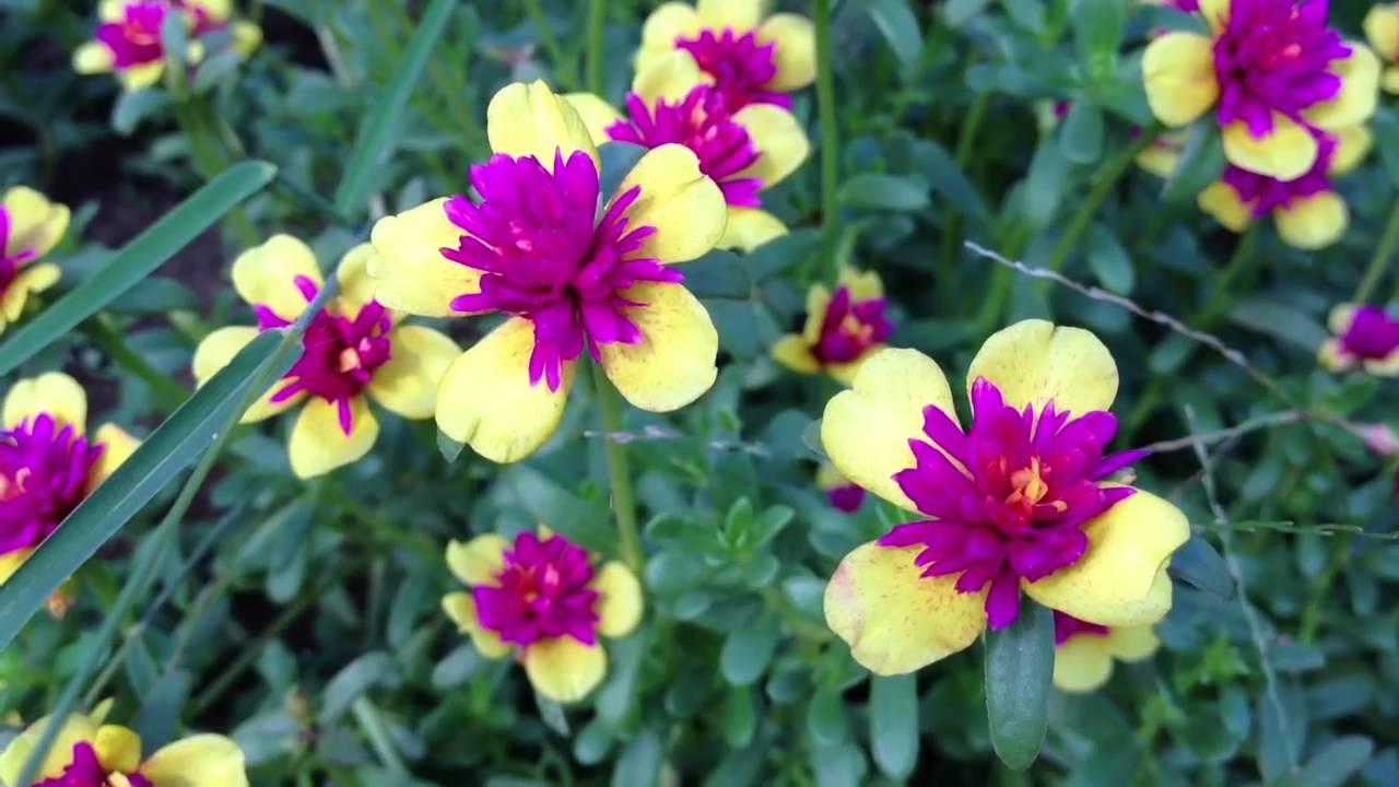 Hình ảnh hoa mười giờ vàng và hồng đậm