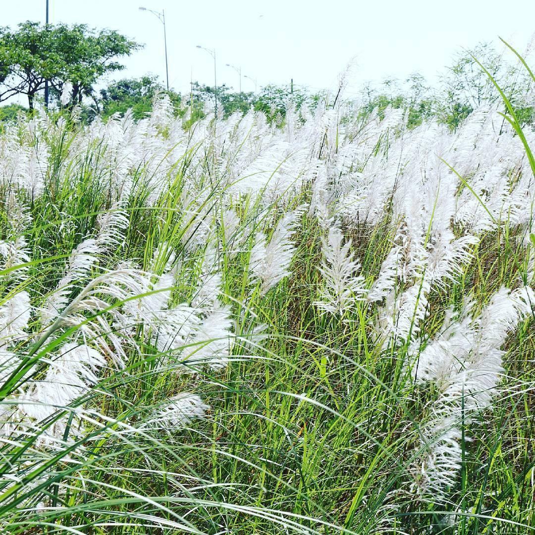 Hình ảnh về hoa cỏ may