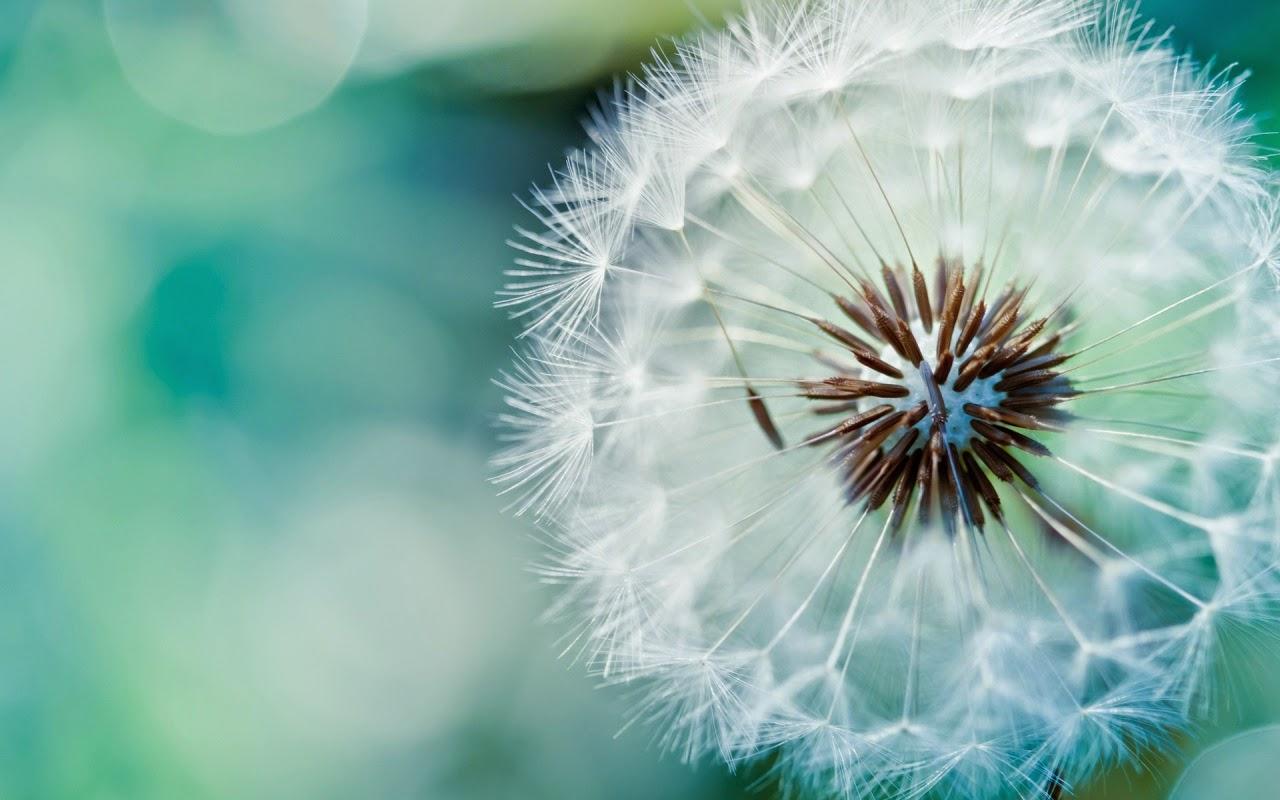Hình đẹp cỏ hoa bồ công anh