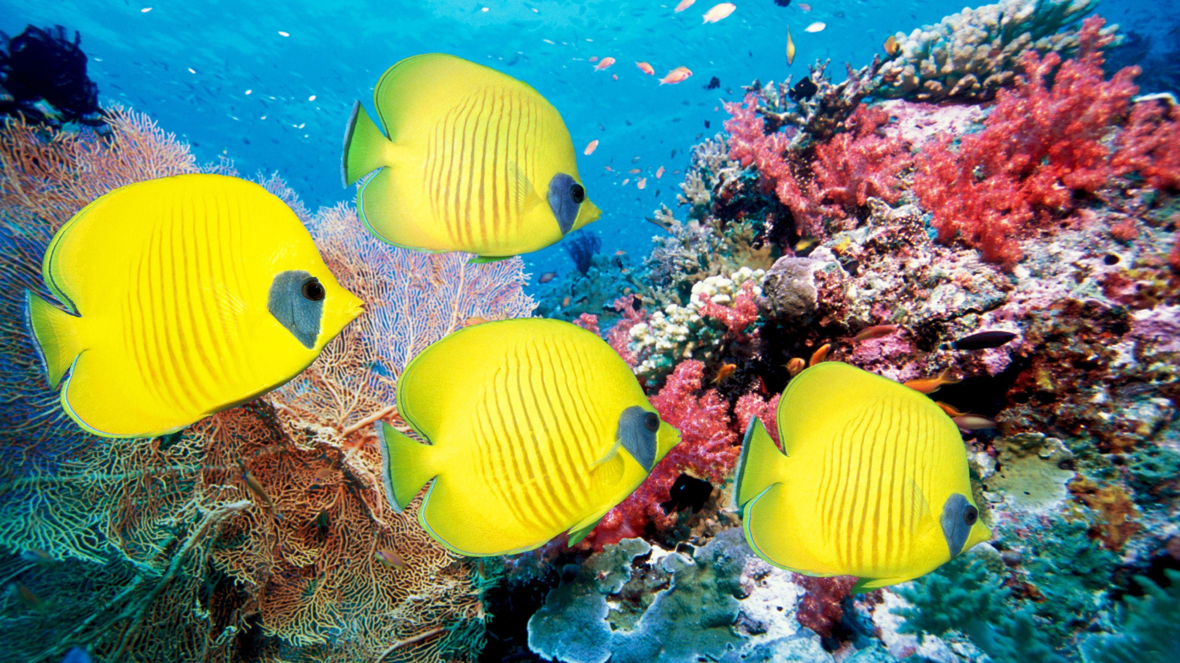 Hình nền cá vàng 4K