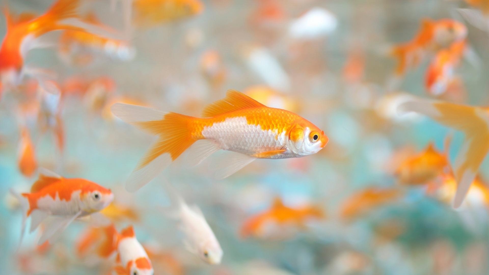 Hình nền cá vàng đẹp