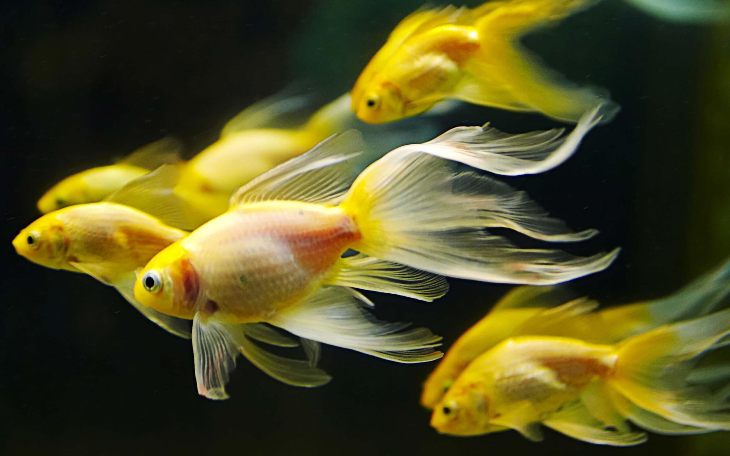 Hình nền cá vàng