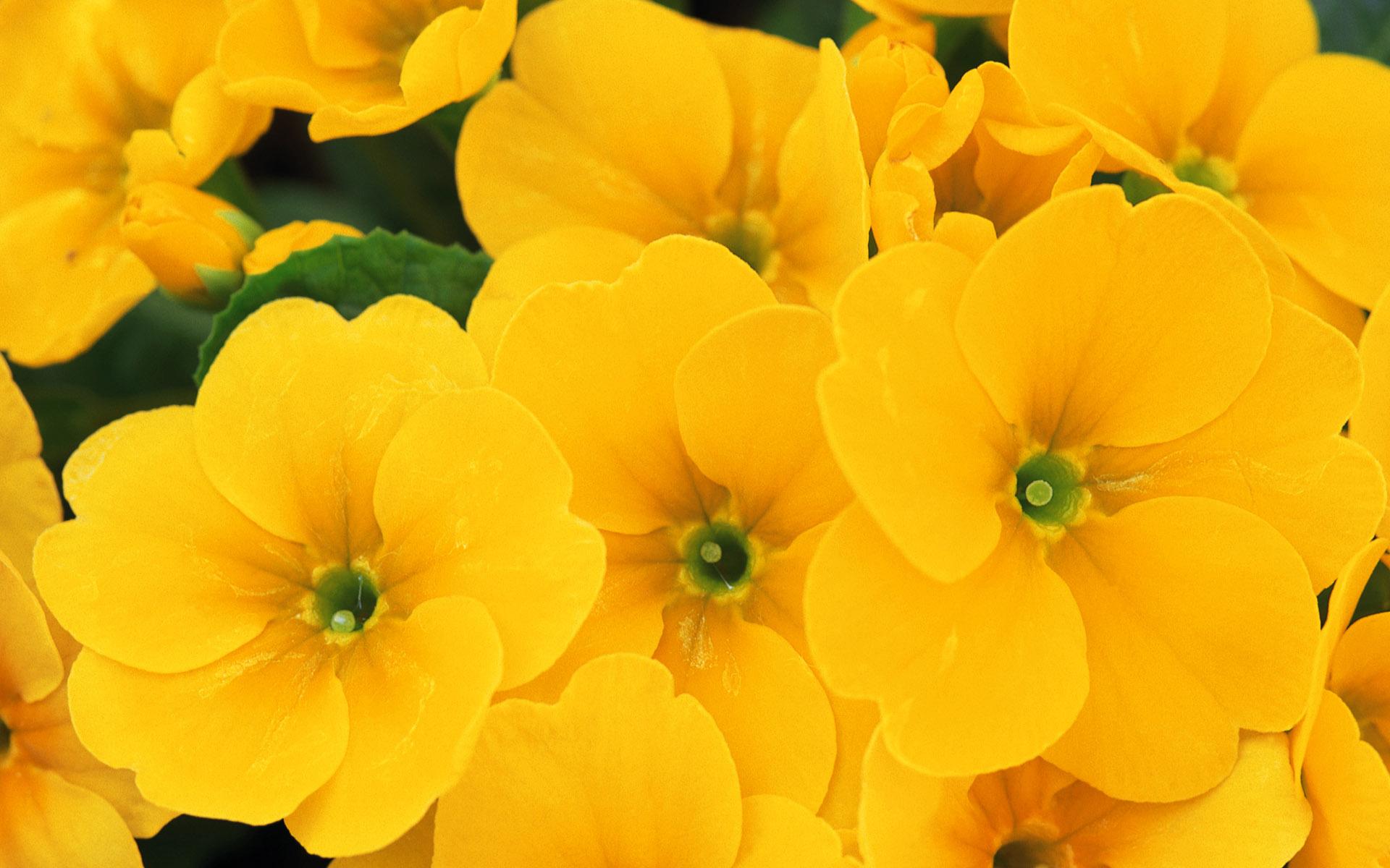 Hình nền hoa đẹp màu vàng