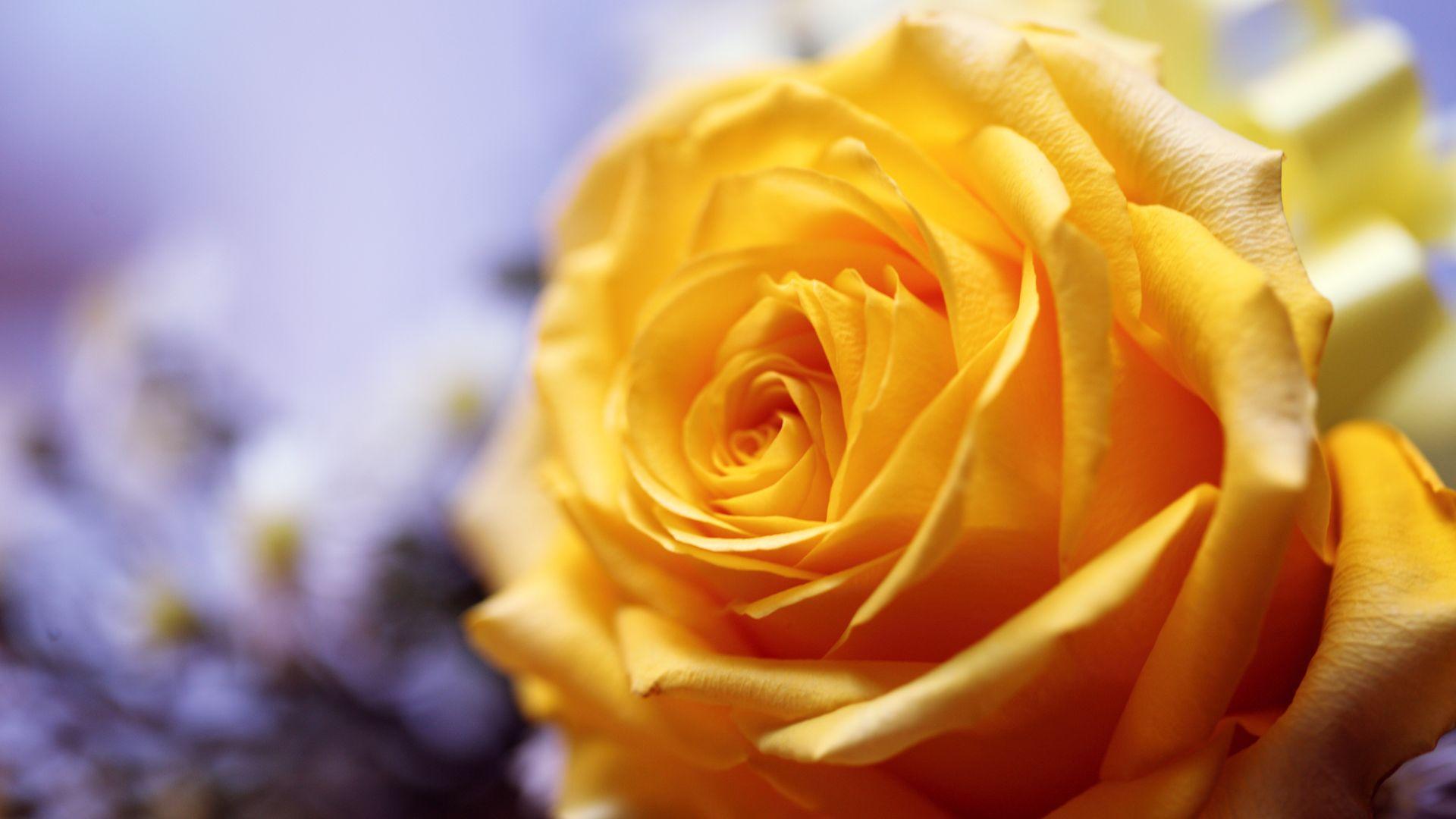 Hình nền hoa hồng vàng đẹp