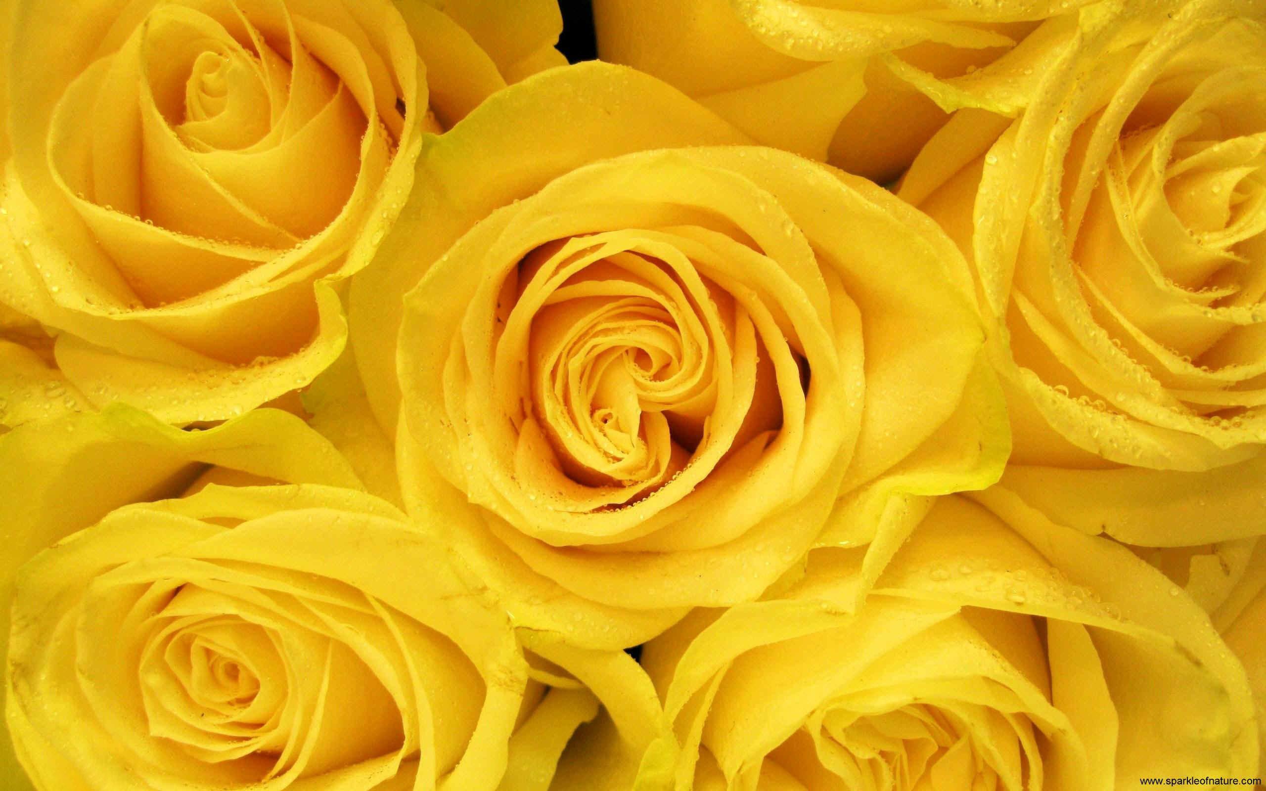 Hình nền hoa hồng vàng