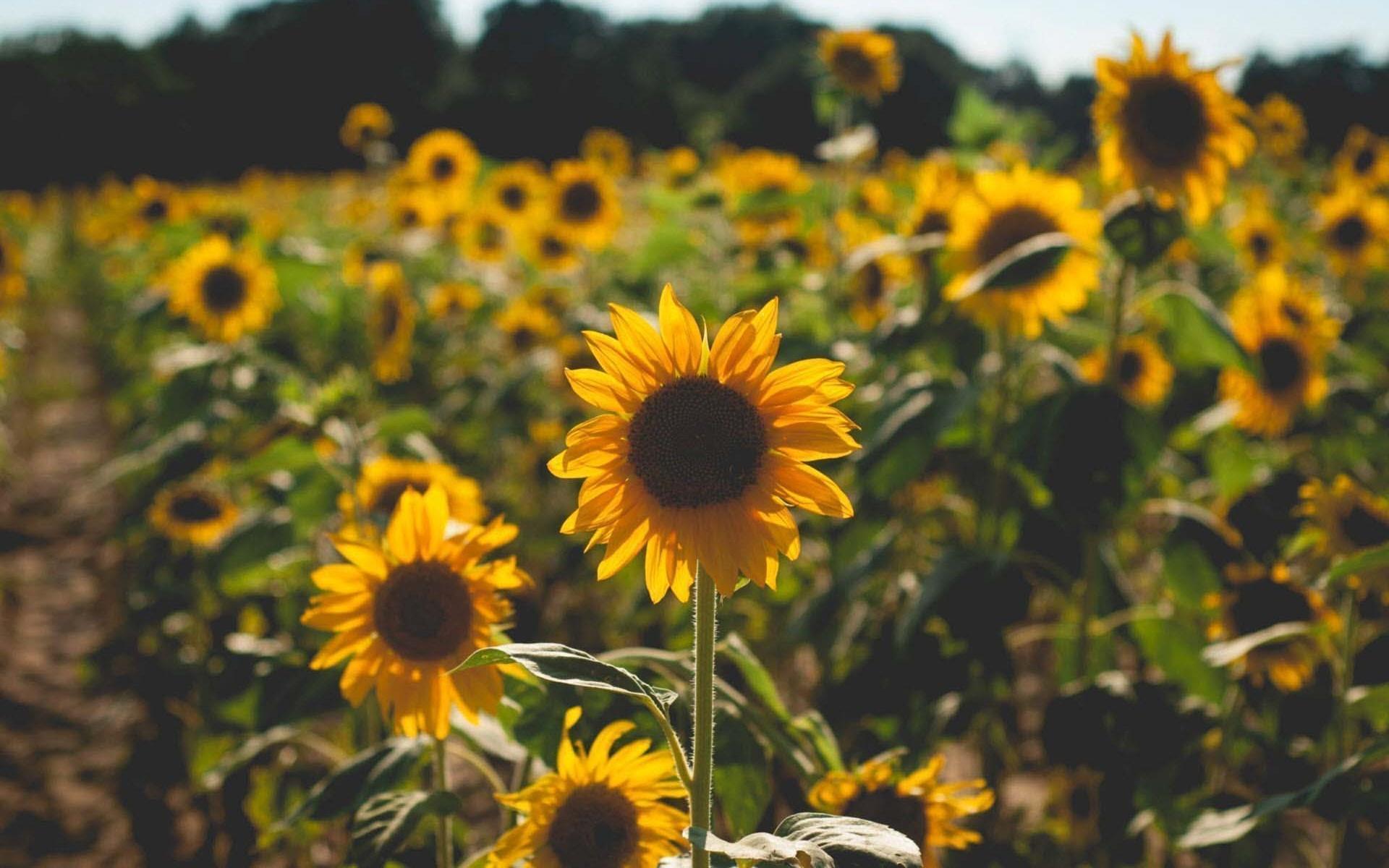 Hình nền hoa hướng dương vàng
