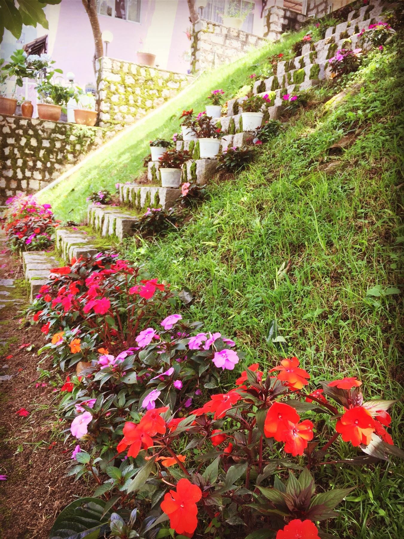 Hoa mười giờ dùng để trang trí rất đẹp