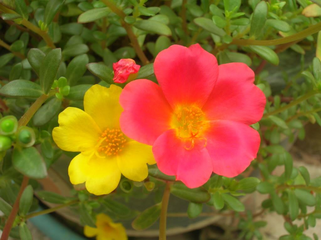 Hoa mười giờ hai màu đỏ vàng
