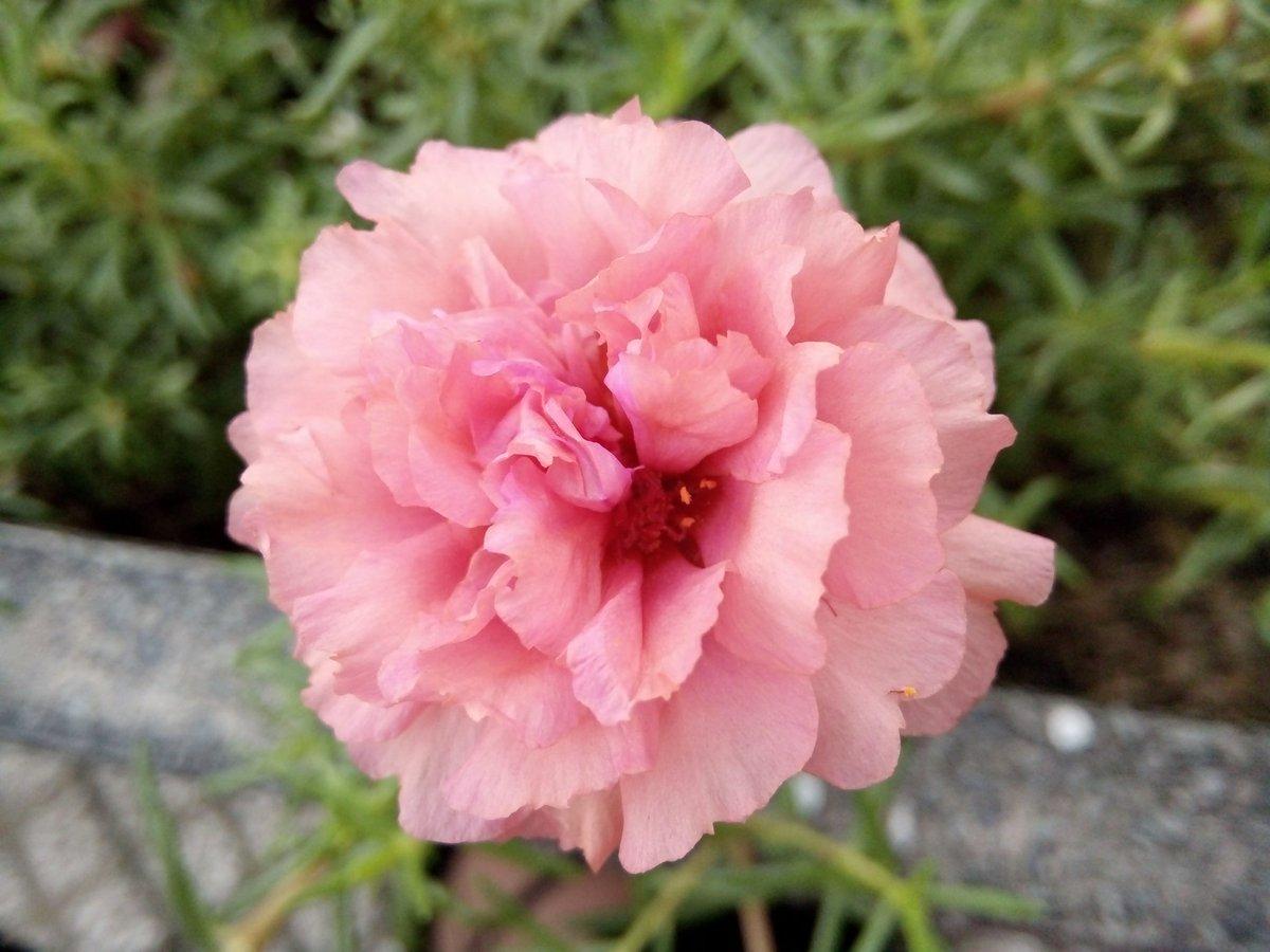 Hoa mười giờ hồng nhạt