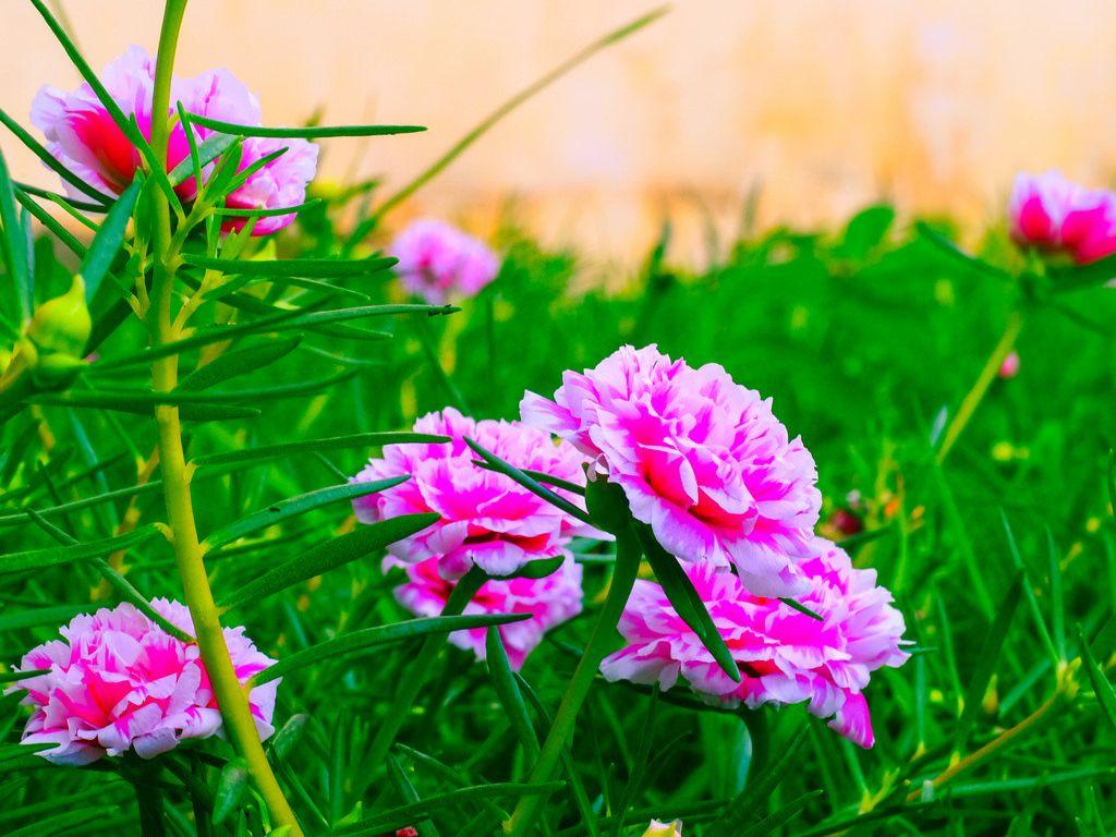 Hoa mười giờ hồng và trắng cực đẹp