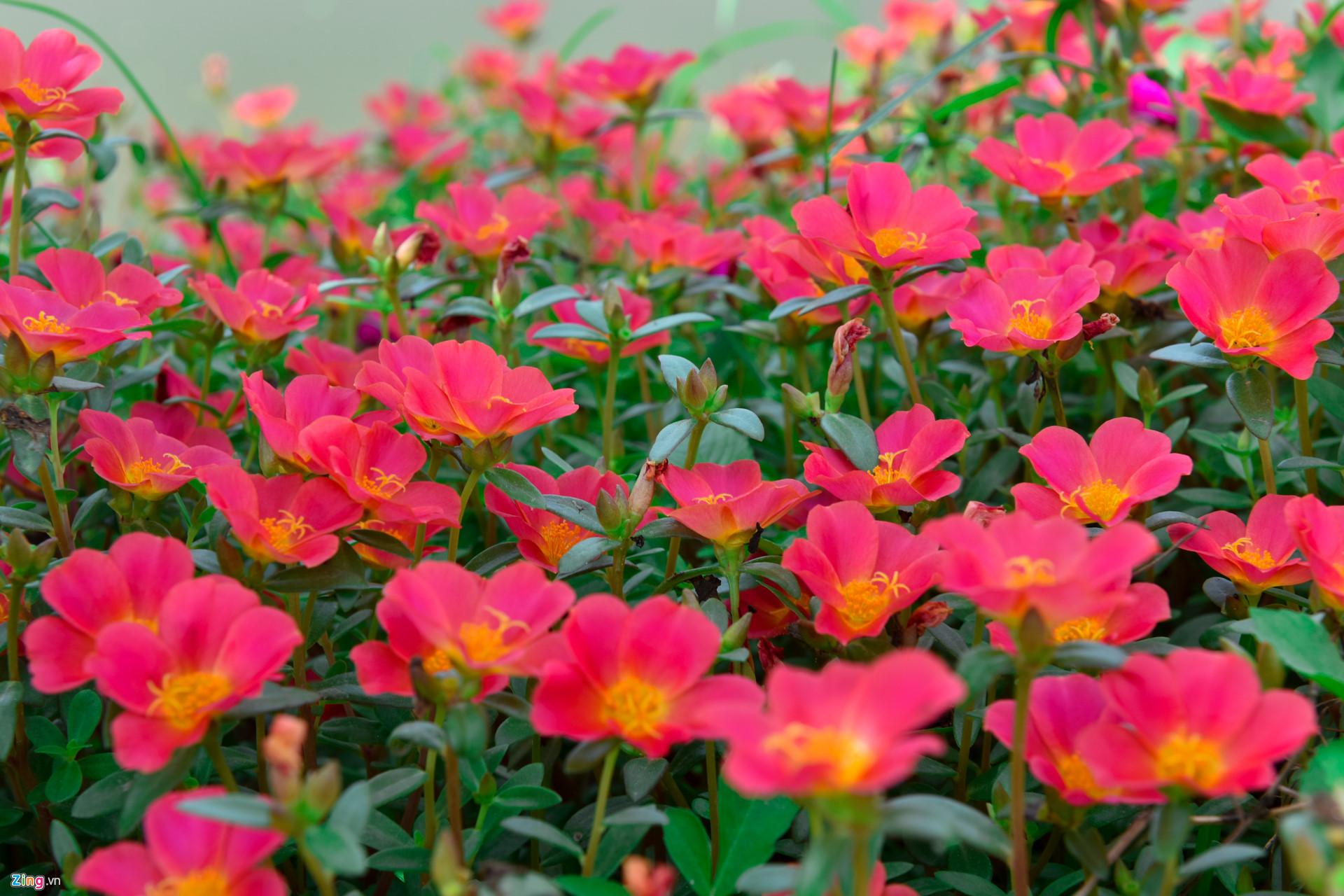 Hoa mười giờ màu đỏ nở rất đẹp