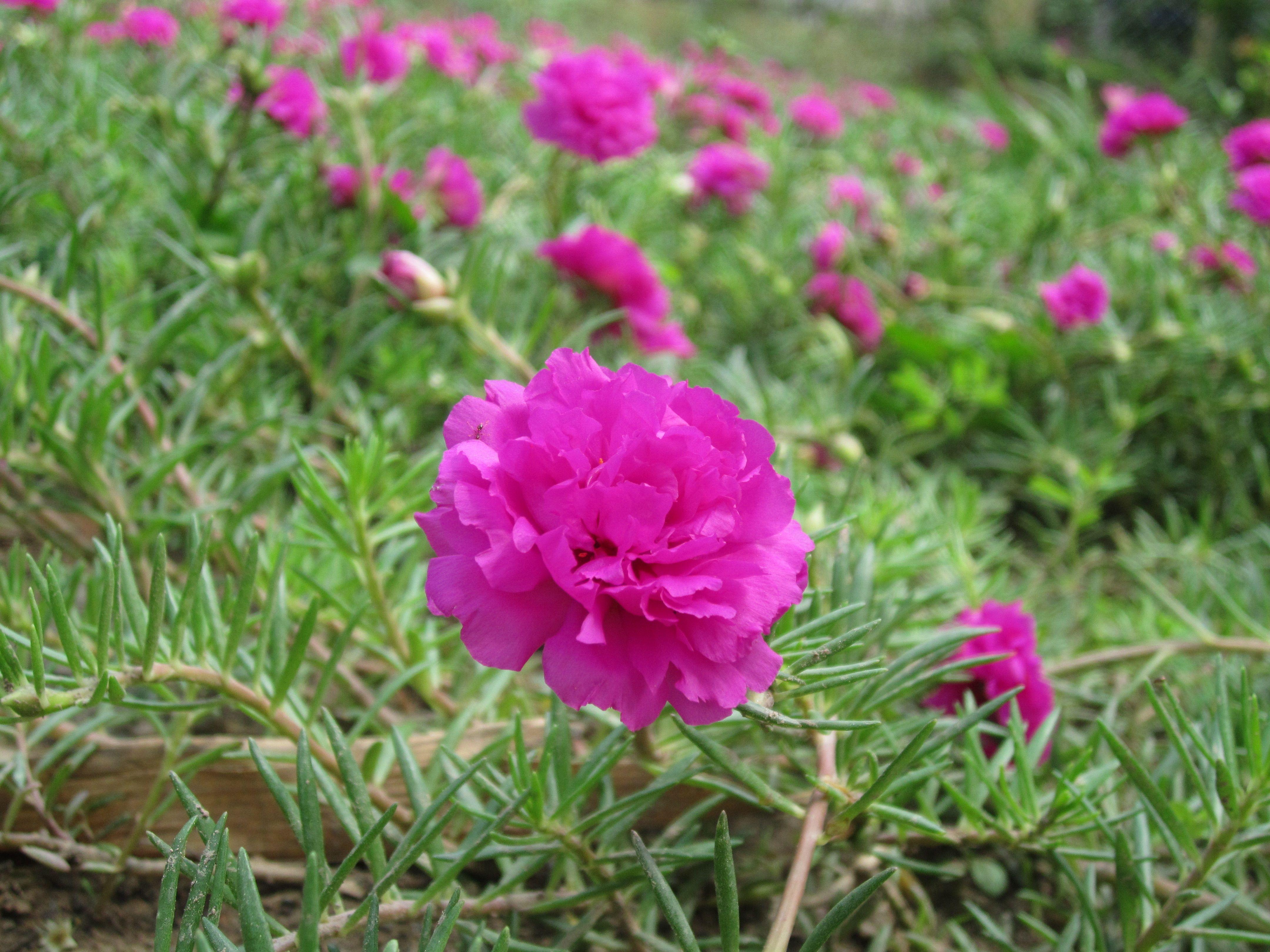 Hoa mười giờ màu tím rất đẹp