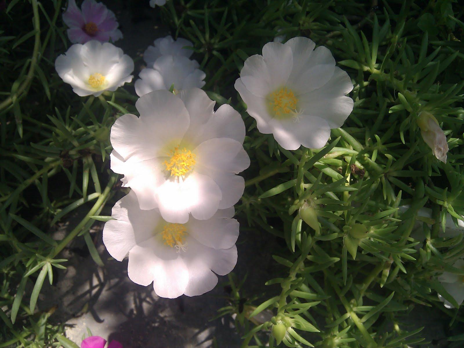 Hoa mười giờ màu trắng rất đẹp