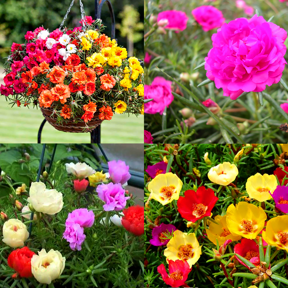 Hoa mười giờ Mỹ nhiều màu sắc cực đẹp