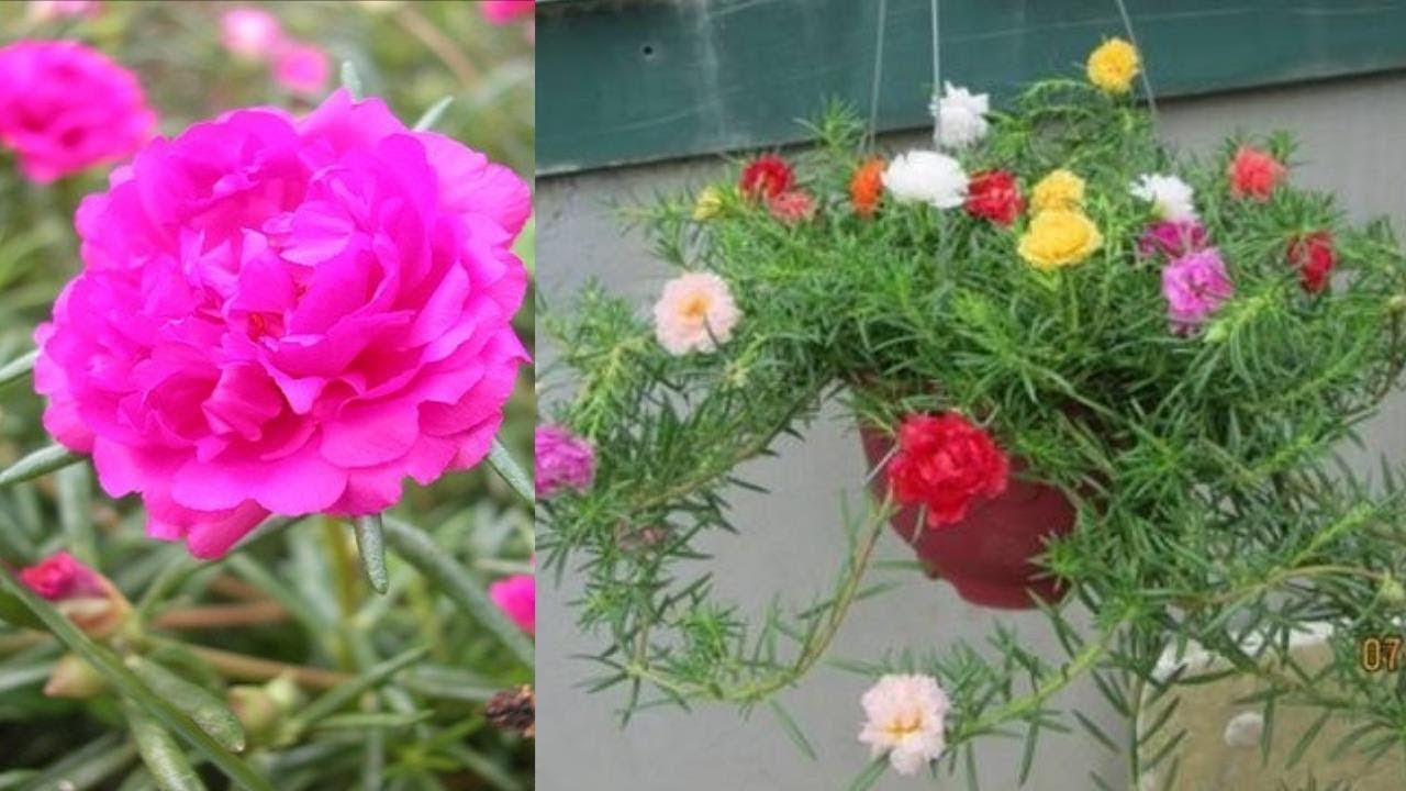 Hoa mười giờ nhiều màu cực đẹp