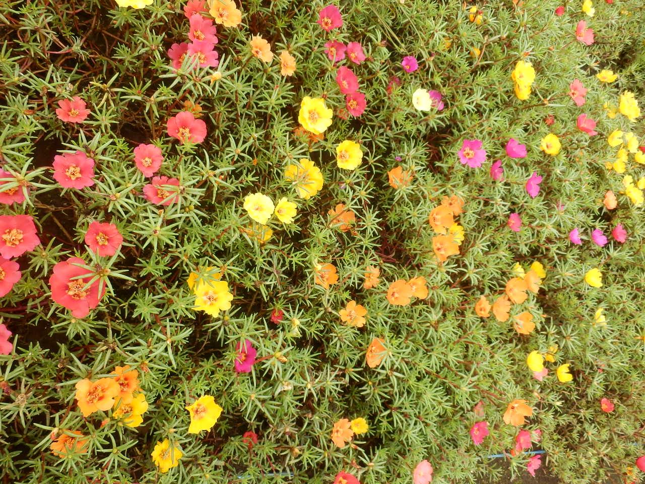 Hoa mười giờ nhiều màu sắc