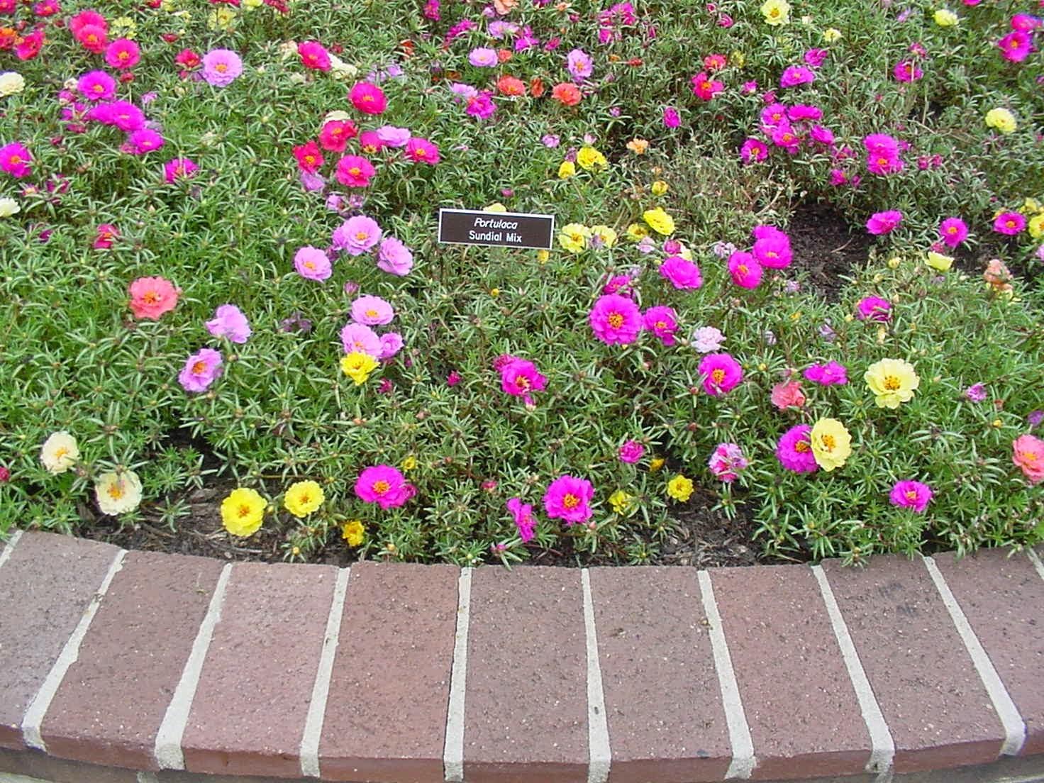 Hoa mười giờ nở rực rỡ rất đẹp