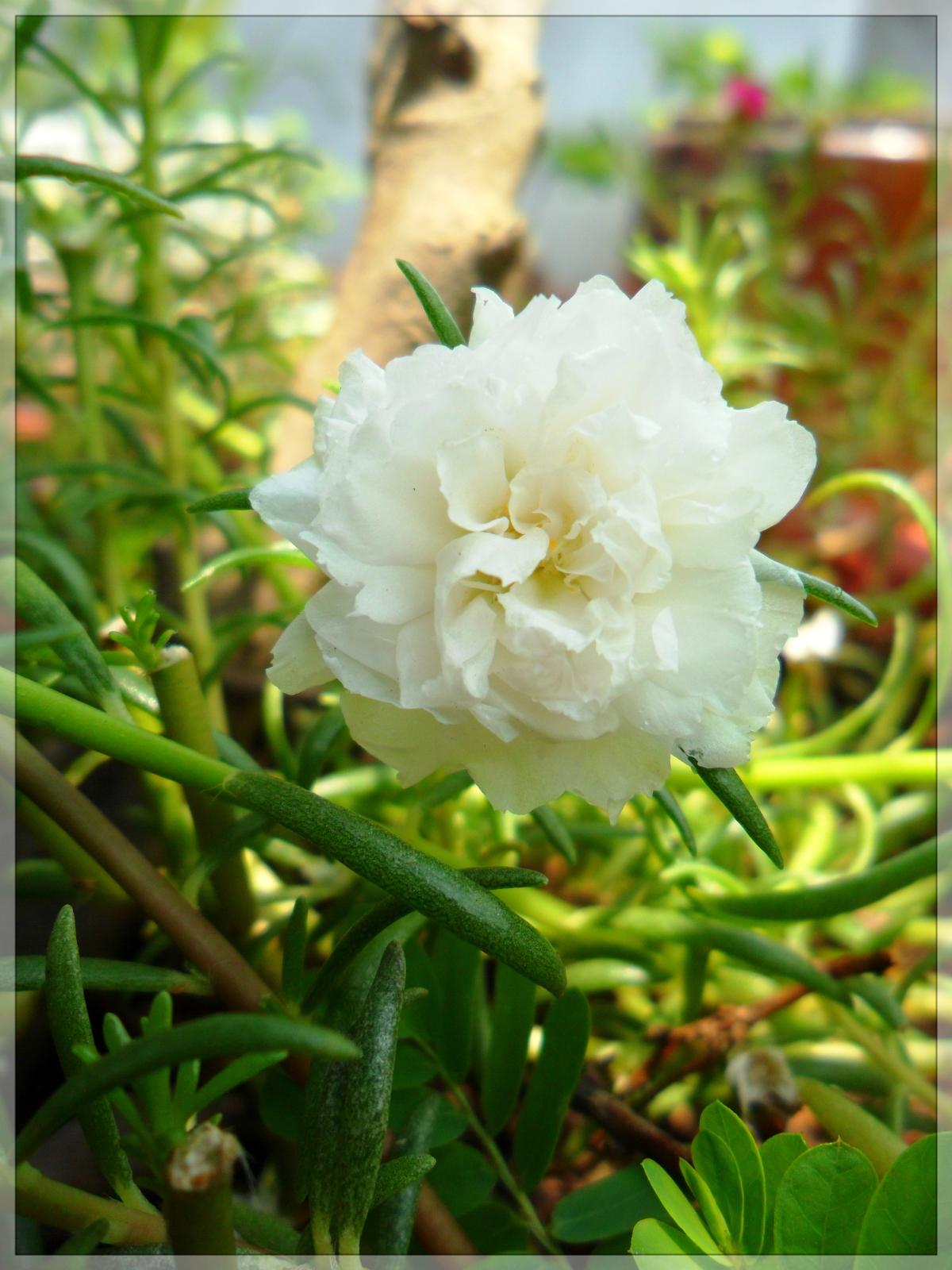 Hoa mười giờ trắng muốt
